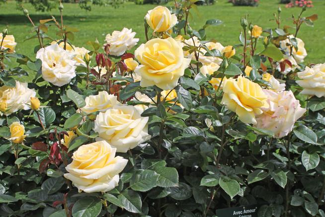 Tipps vom Profi für den richtigen Zeitpunkt bei der Rosenpflege